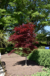 Fireglow Japanese Maple (Acer palmatum 'Fireglow') at Canadale Nurseries