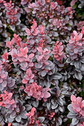 Concorde Japanese Barberry (Berberis thunbergii 'Concorde') at Canadale Nurseries