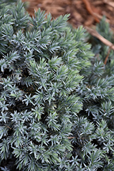 Blue Star Juniper (Juniperus squamata 'Blue Star') at Canadale Nurseries