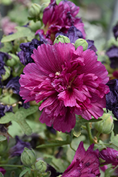 Queeny Purple Hollyhock (Alcea rosea 'Queeny Purple') at Canadale Nurseries