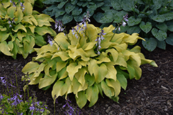 Sun Power Hosta (Hosta 'Sun Power') at Canadale Nurseries
