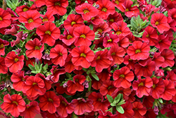 Superbells® Red Calibrachoa (Calibrachoa 'Superbells Red') at Canadale Nurseries