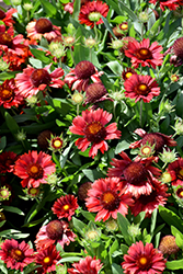 Mesa Red Blanket Flower (Gaillardia x grandiflora 'Mesa Red') at Canadale Nurseries