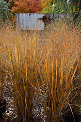 Northwind Switch Grass (Panicum virgatum 'Northwind') at Canadale Nurseries