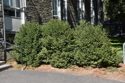 Green Mountain Boxwood (Buxus 'Green Mountain') at Canadale Nurseries