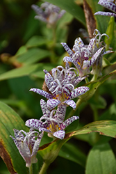 Toad Lily (Tricyrtis hirta) at Canadale Nurseries
