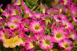 Supertunia® Daybreak Charm Petunia (Petunia 'USTUN69002') at Canadale Nurseries