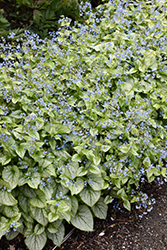 Jack Frost Bugloss (Brunnera macrophylla 'Jack Frost') at Canadale Nurseries