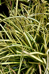 EverColor® Eversheen Japanese Sedge (Carex oshimensis 'Eversheen') at Canadale Nurseries