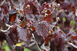 Red Majestic Corkscrew Hazelnut (Corylus avellana 'Red Majestic') at Canadale Nurseries