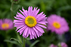 Happy End Alpine Aster (Aster alpinus 'Happy End') at Canadale Nurseries
