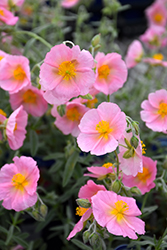 Wisley Pink Rock Rose (Helianthemum nummularium 'Wisley Pink') at Canadale Nurseries
