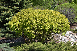 Nugget Ninebark (Physocarpus opulifolius 'Nugget') at Canadale Nurseries
