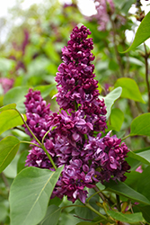Paul Thirion Lilac (Syringa vulgaris 'Paul Thirion') at Canadale Nurseries
