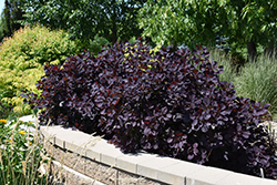Royal Purple Smokebush (Cotinus coggygria 'Royal Purple') at Canadale Nurseries