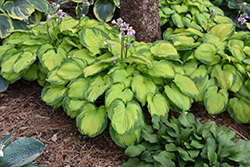 Old Glory Hosta (Hosta 'Old Glory') at Canadale Nurseries