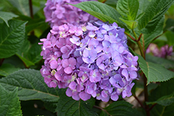 Bloomstruck® Hydrangea (Hydrangea macrophylla 'PIIHM-II') at Canadale Nurseries