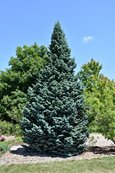 Arizona Compact Rocky Mountain Fir (Abies lasiocarpa 'Arizonica Compacta') at Canadale Nurseries