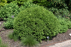 Green Gem Boxwood (Buxus 'Green Gem') at Canadale Nurseries