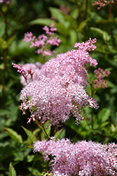 Queen Of The Prairie (Filipendula rubra) at Canadale Nurseries