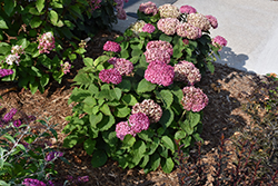 Invincibelle® Mini Mauvette Hydrangea (Hydrangea arborescens 'NCHA7') at Canadale Nurseries
