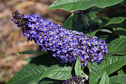 Pugster® Blue Butterfly Bush (Buddleia 'SMNBDBT') at Canadale Nurseries