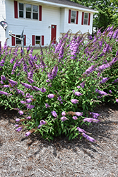 Peacock™ Butterfly Bush (Buddleia davidii 'Peakeep') at Canadale Nurseries
