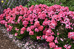 Garden Girls™ Glamour Girl Garden Phlox (Phlox paniculata 'Glamour Girl') at Canadale Nurseries