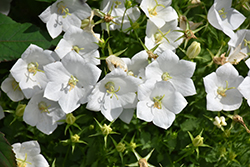 White Clips Bellflower (Campanula carpatica 'White Clips') at Canadale Nurseries