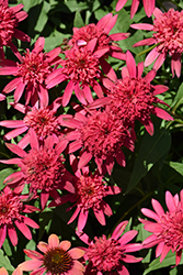 Double Scoop™ Raspberry Coneflower (Echinacea 'Balsceras') at Canadale Nurseries