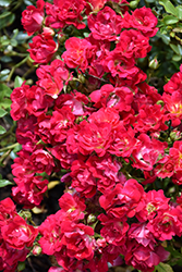 Red Drift® Rose (Rosa 'Meigalpio') at Canadale Nurseries