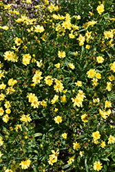 Leading Lady Sophia Tickseed (Coreopsis 'Leading Lady Sophia') at Canadale Nurseries