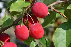 Dolgo Apple (Malus 'Dolgo') at Canadale Nurseries