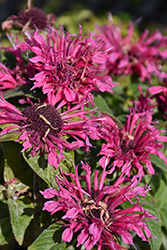 Cranberry Lace Beebalm (Monarda 'Cranberry Lace') at Canadale Nurseries