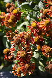 Ruby Tuesday Sneezeweed (Helenium 'Ruby Tuesday') at Canadale Nurseries