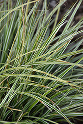EverColor® Everest Japanese Sedge (Carex oshimensis 'Carfit01') at Canadale Nurseries
