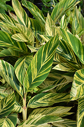 Variegated Shell Ginger (Alpinia zerumbet 'Variegata') at Canadale Nurseries