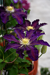 The Vagabond Clematis (Clematis 'The Vagabond') at Canadale Nurseries