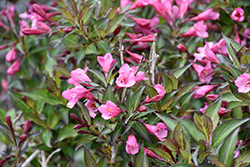 Fine Wine® Weigela (Weigela florida 'Bramwell') at Canadale Nurseries