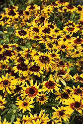 Denver Daisy Coneflower (Rudbeckia hirta 'Denver Daisy') at Canadale Nurseries