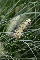 Little Bunny Dwarf Fountain Grass (Pennisetum alopecuroides 'Little Bunny') at Canadale Nurseries