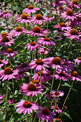PowWow Wild Berry Coneflower (Echinacea purpurea 'PowWow Wild Berry') at Canadale Nurseries