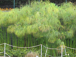Papyrus (Cyperus papyrus) at Canadale Nurseries